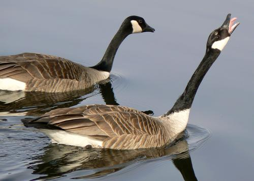 swimming geese