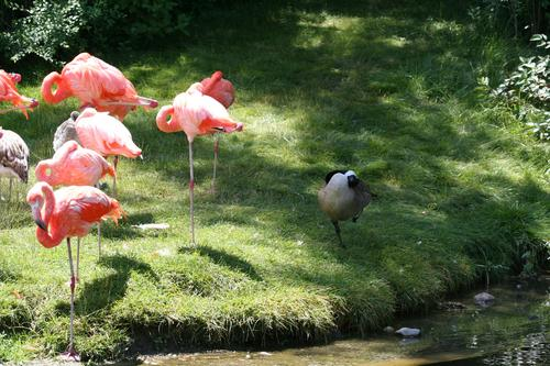 goose with flamingoes