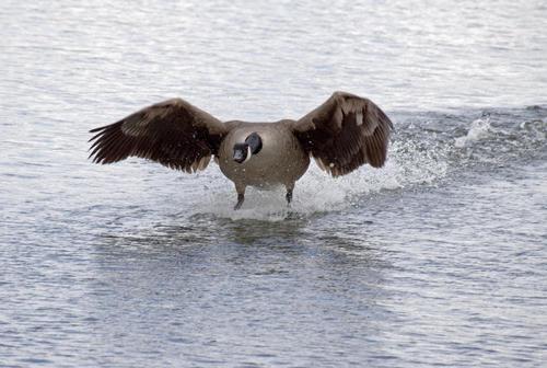 goose landing on water