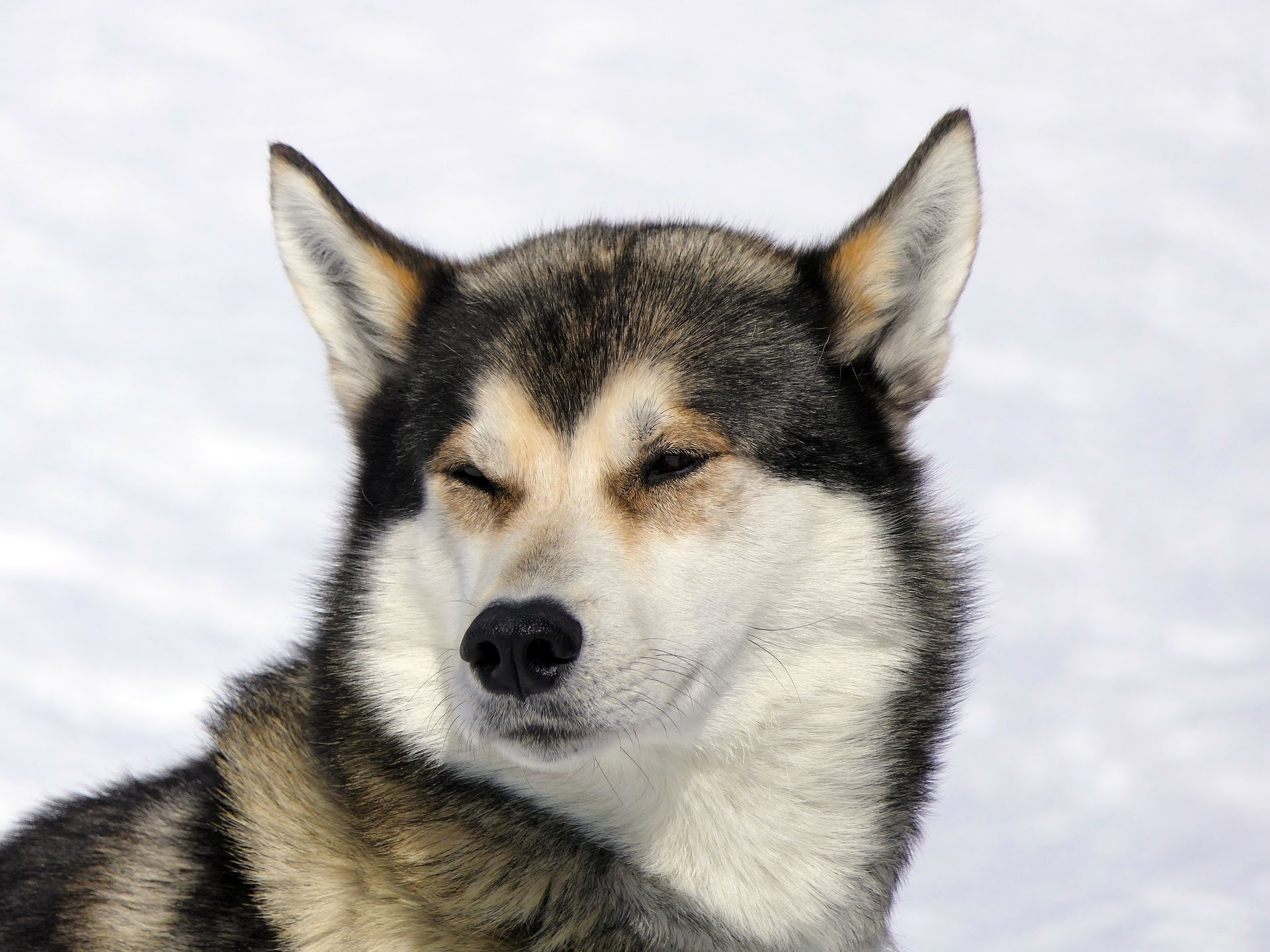 Huskey dog squinting