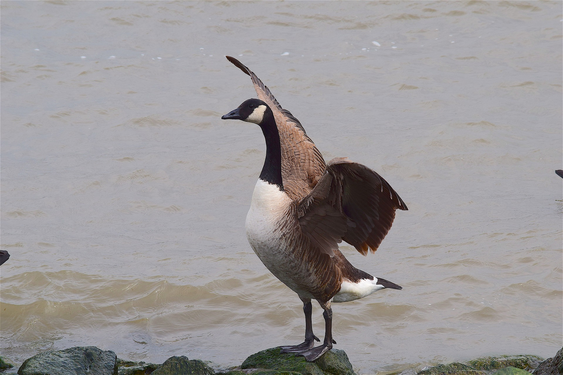 goose with wings spread