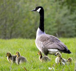 goose with goslings in field