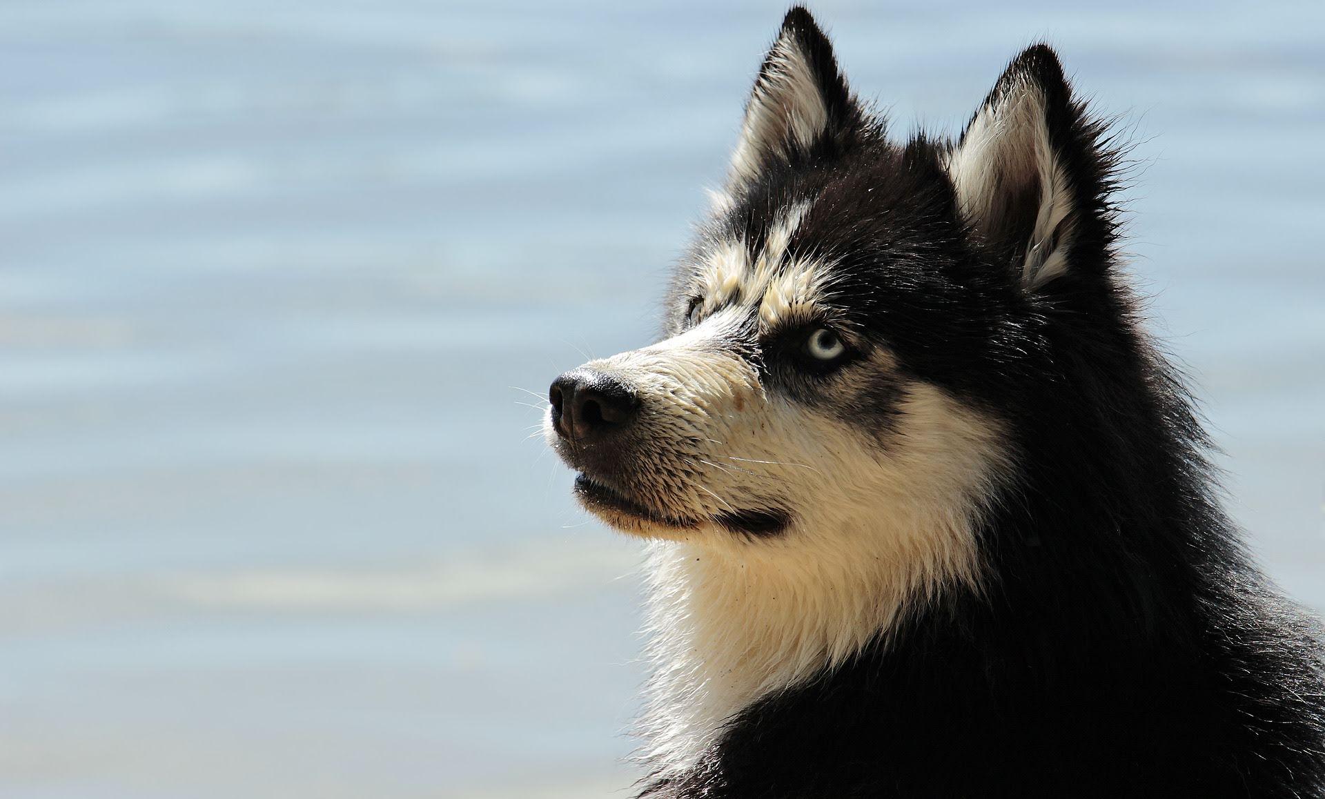 Huskey dog looking unimpressed
