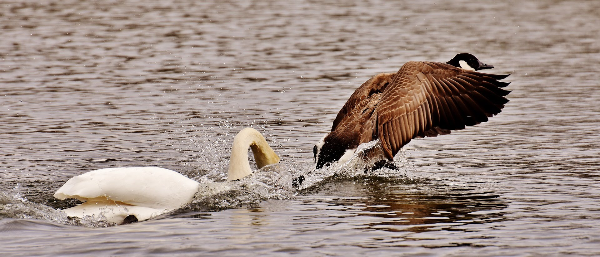 swan attacking a goose