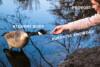 hand feeding goose