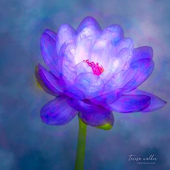 My water lily dream by Teresa Walker