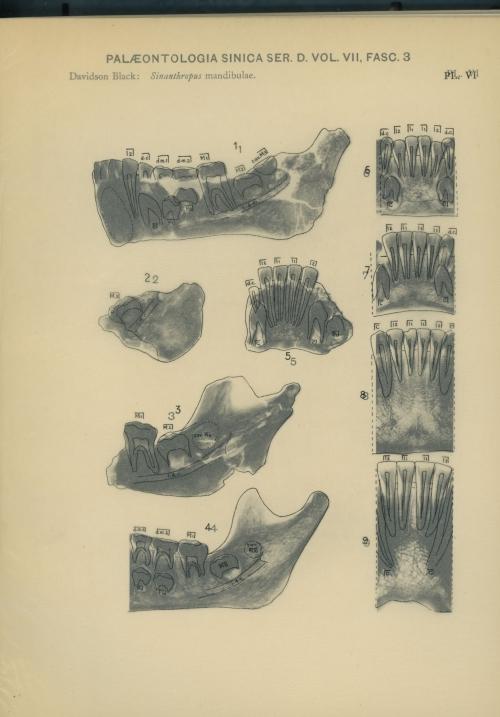Sinanthropus mandibulae