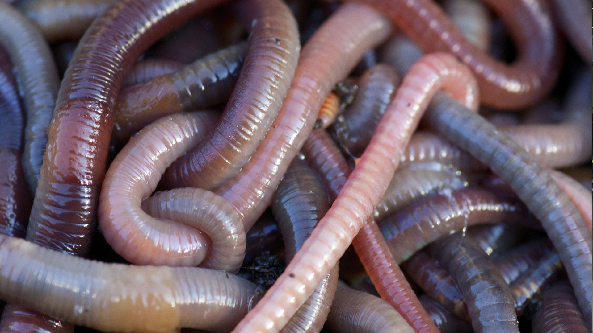 earthworms - photo #38