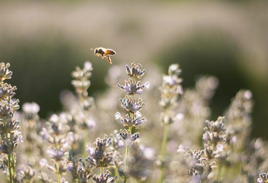 Bee hovering over lavender