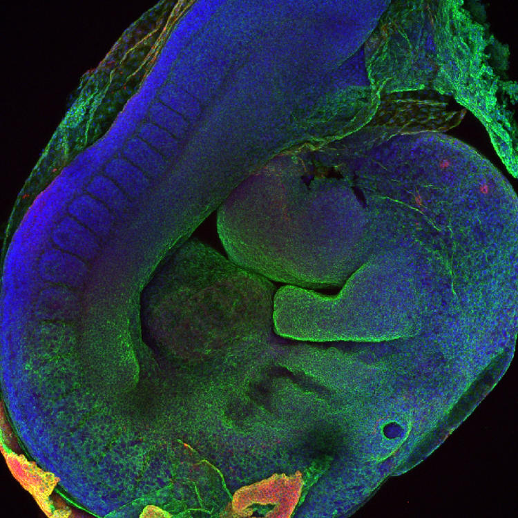 3D Embryo Image