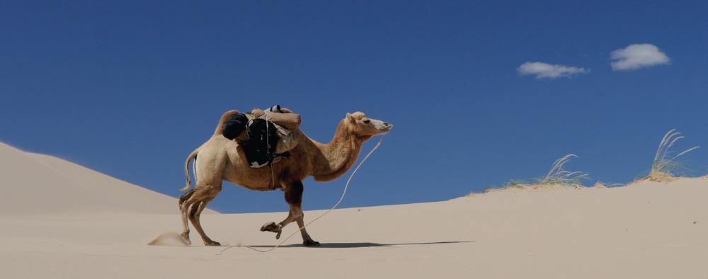 Camel walking in desert