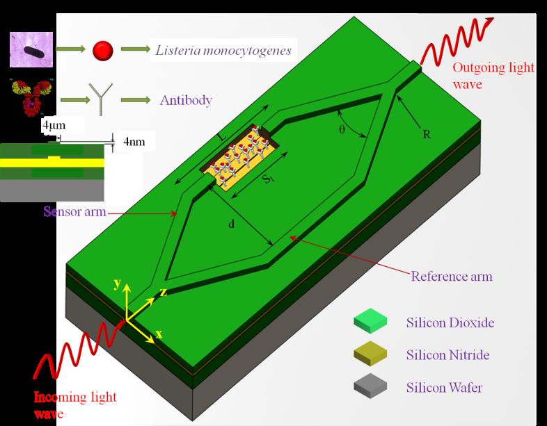 Mach-Zehnder Interferometer (MZI) biosensor for the detection of Listeria Monocytogenes.