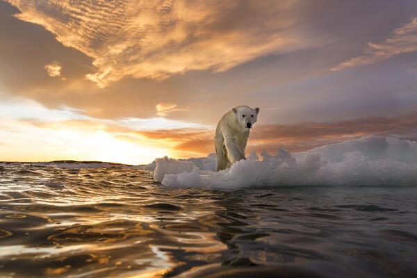 Polar Bear in Repulse Bay, Nunavut, Canada