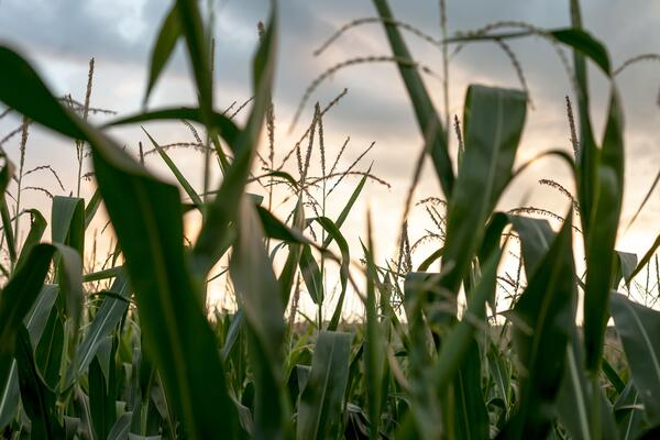 close up in a corn field