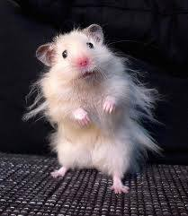 Frazzled hampster