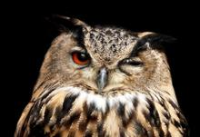 Headshot of owl with one eye closed
