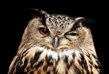 Head shot of owl with one eye closed