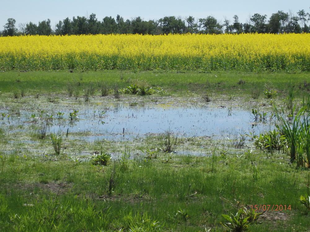 Wetland in a canola field