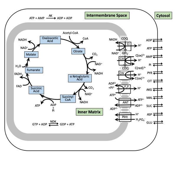Cell bioenergetics