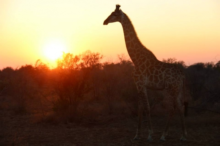Giraffe enjoying the sunrise