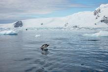 Gentoo penguin swimming in Cierva Cove, Antarctica