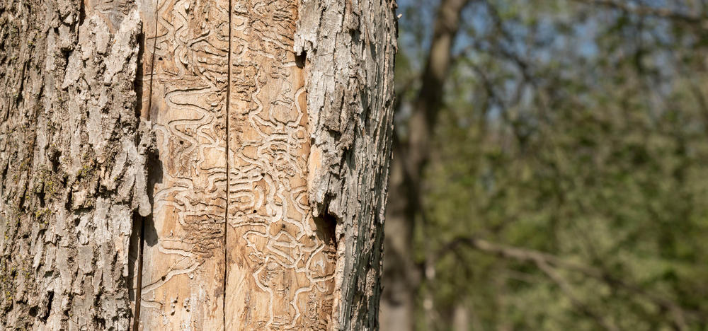 Emerald ash borer damage to an ash tree.