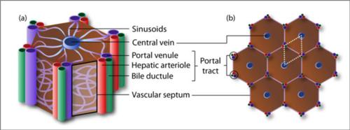 Diagram of a liver lobule.