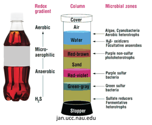 Diagram showing various layers that can form in a Winogradsky column, and the microbes responsible.
