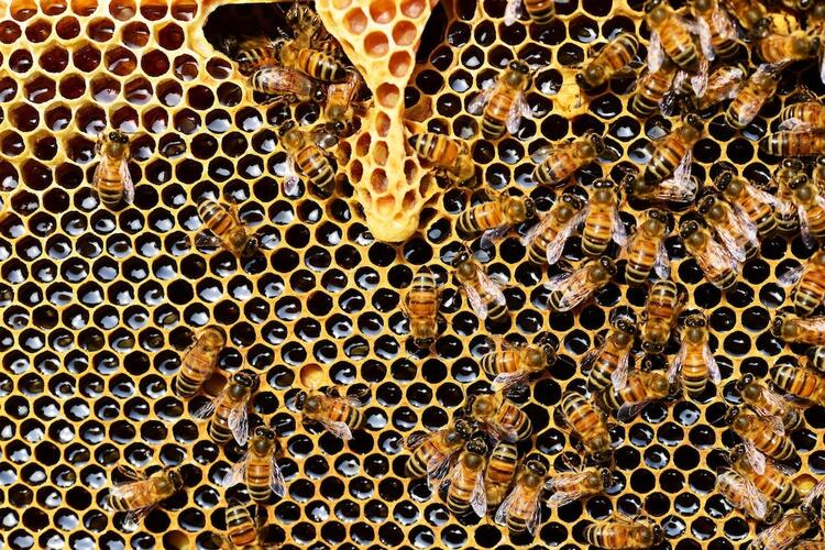 Bees crawling over a honeycomb