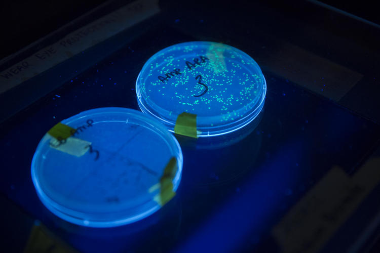 Bioluminescent E. coli