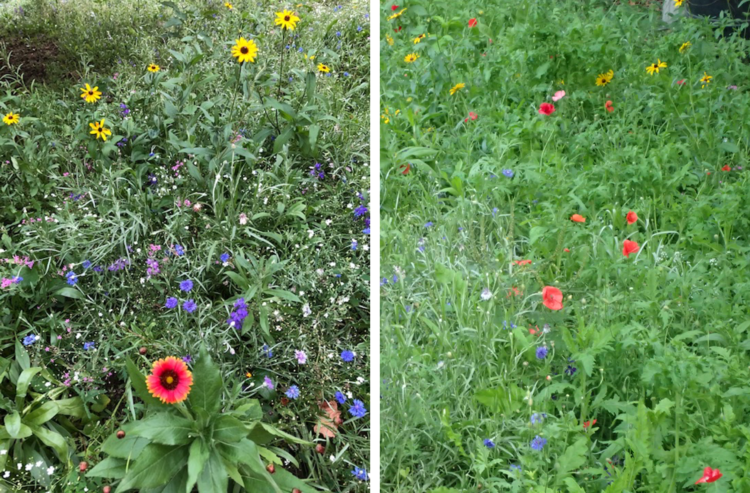 Two side by side photos of a wildflower meadow, with bright red and yellow flowers