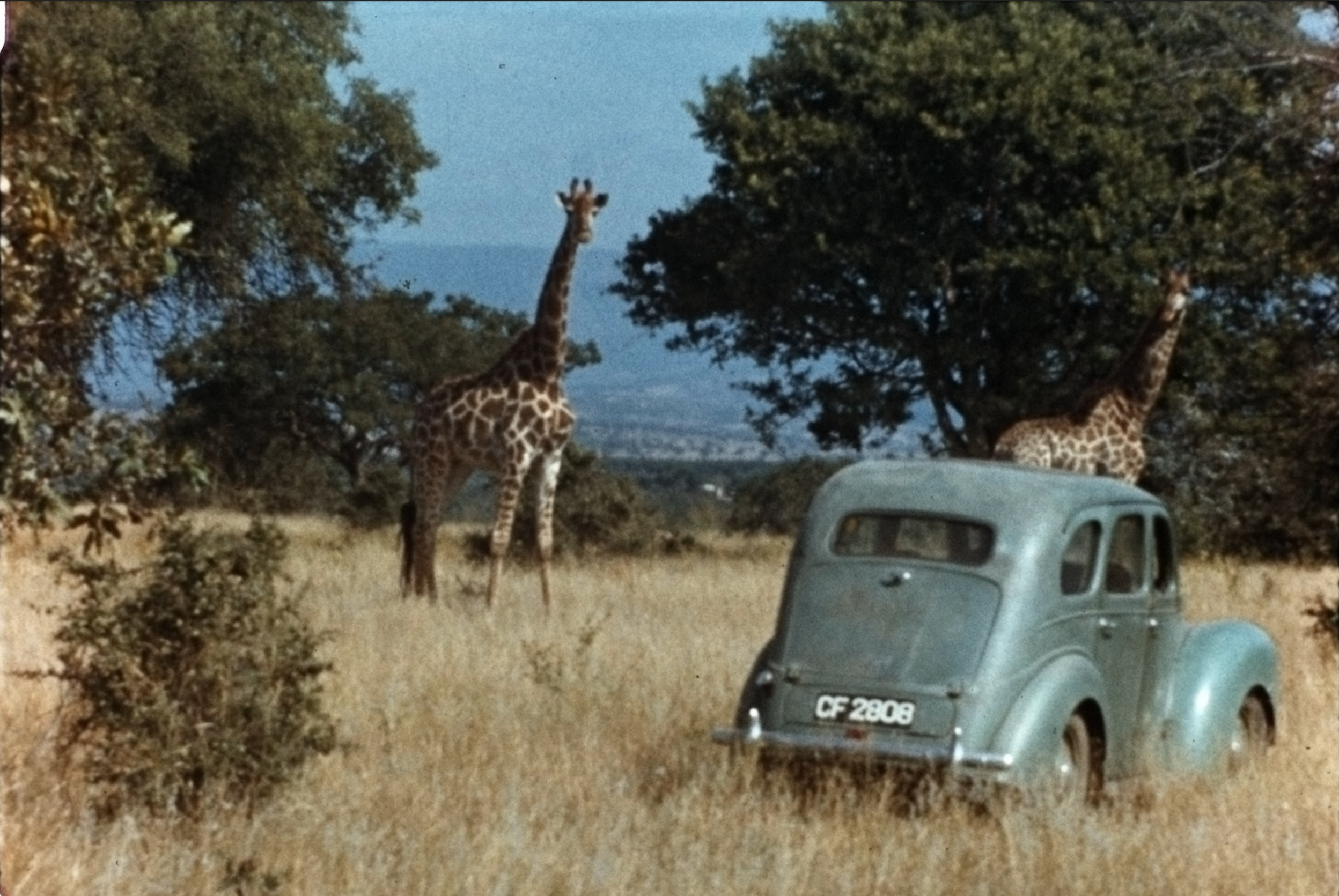 Giraffes and 1950s car in savannah.