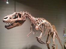 Albertasaurus skeleton