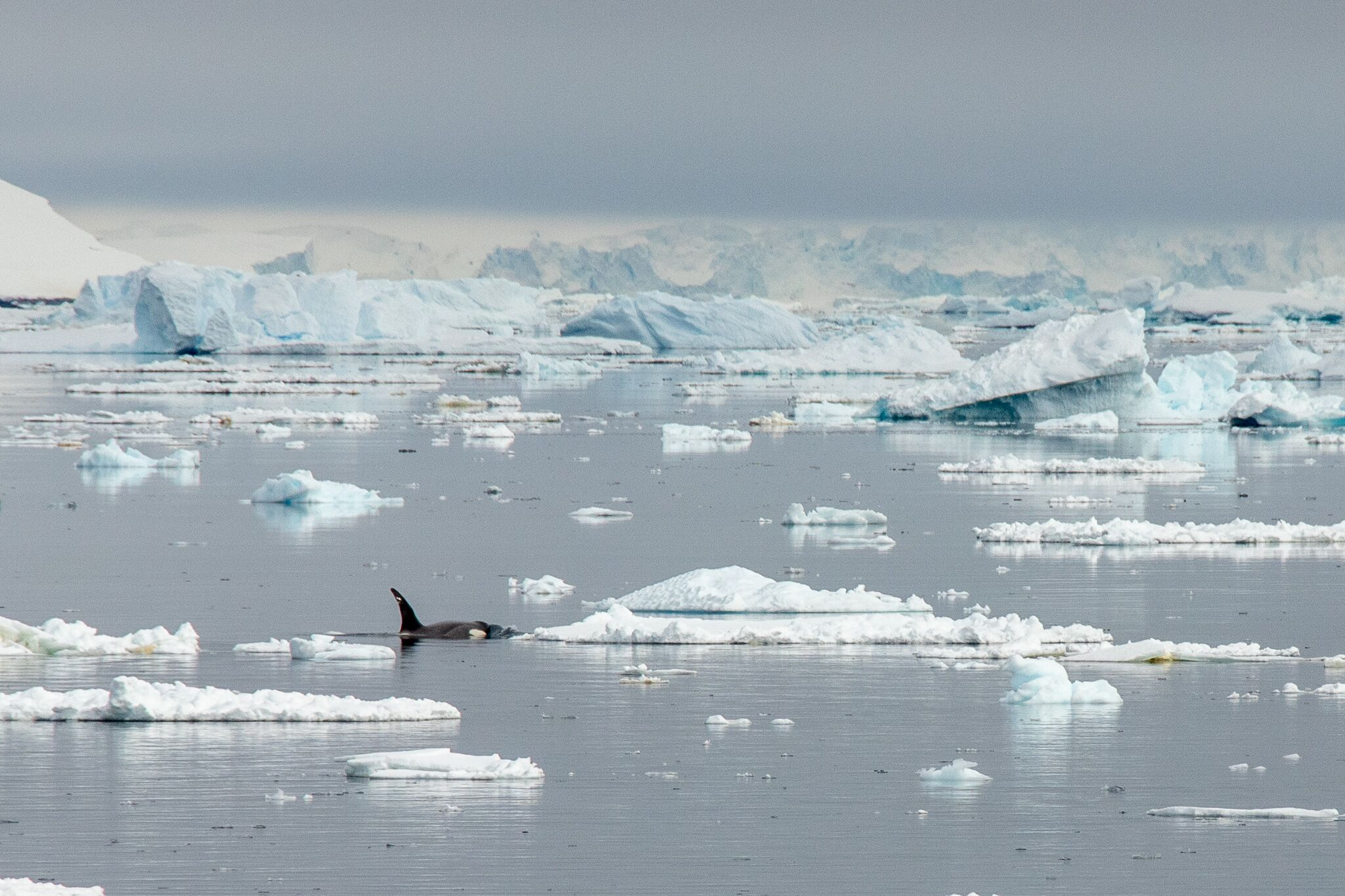 Orca whale swimming amongst floating ice