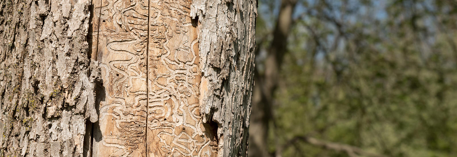 Signs of emerald ash borer bug on bark of tree