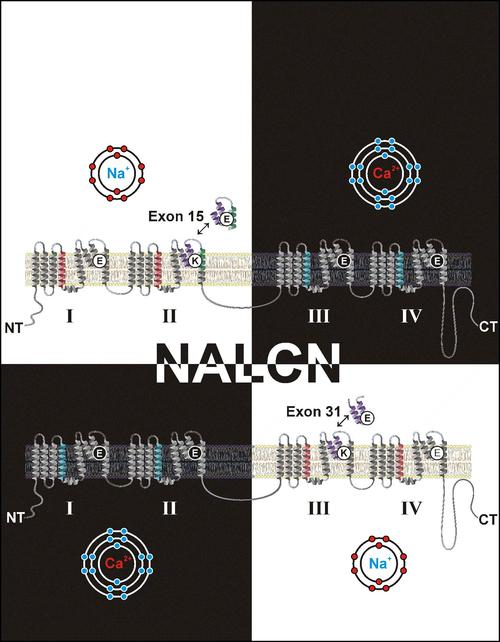 Illustration of the ambiguous and bipolar nature of the orphan NALCN ion channel
