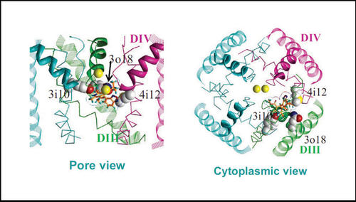 Structural views of (R)-isradipine docked in human L-type channel Cav1.2.