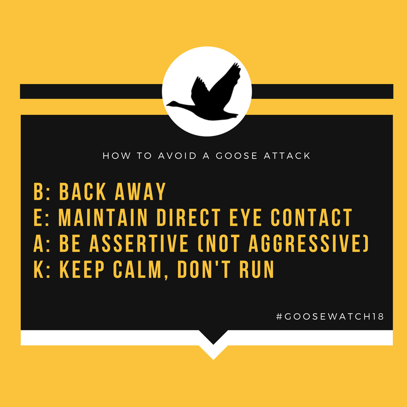 How to avoid a goose attack: Back away, Maintain direct eye contact, Be assertive (not aggressive), Keep calm and don't run.