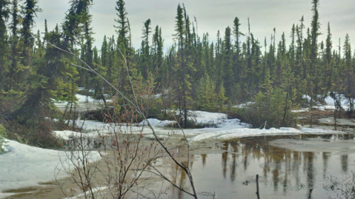 Coniferous forest in northern Canada with mixed meltwater and snow