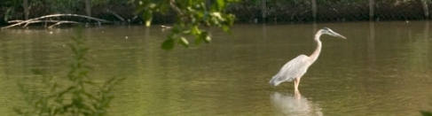 Great Blue Heron standing in the waters of the Laurel Creek.