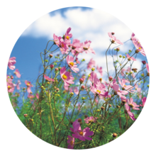 Pink wildflowers against a bright blue sky
