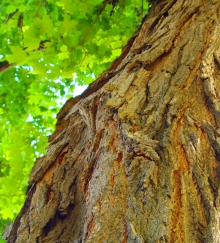 large old tree trunk and green leaves