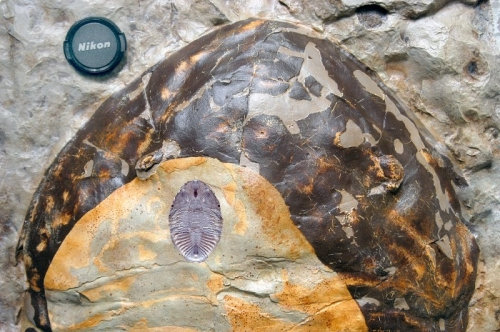 Detail of the headshield (cephalon) of the largest Isotelus