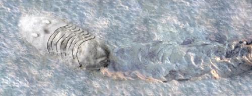 A very large Isotelus trilobite crawls through soft sediments near the Ordovician shoreline