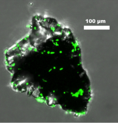 Figure 2 shows Burkholderia fungorum (a gram-negative, heterotrophic bacterium) colonizing a basalt particle.