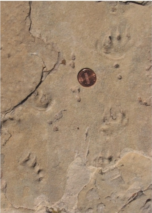 Tetrapod tracks in the Coconino Sandstone with penny for scale.