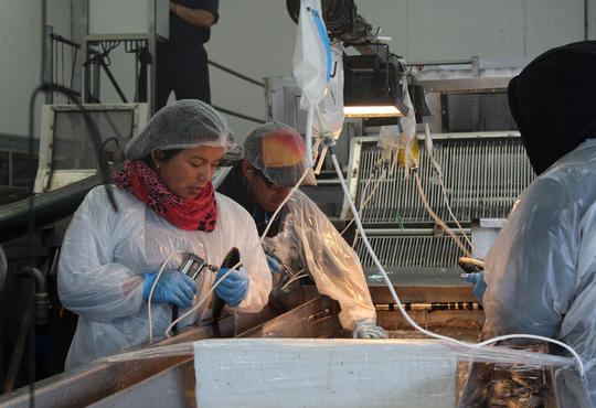researchers giving fish vaccine