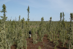 A man standing in treed bog.