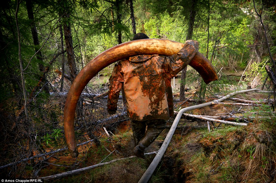 A pirate hauling a mammoth tusk.